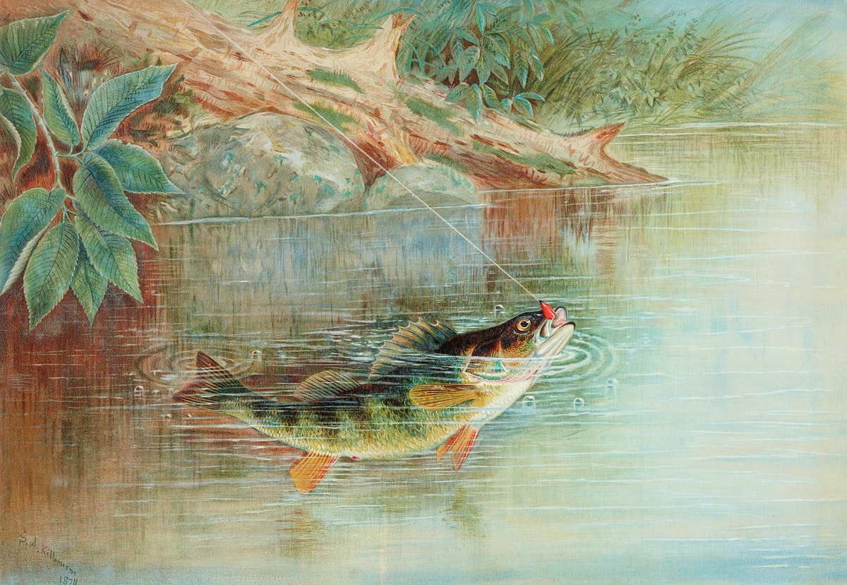 Yellow Perch chromolithograph (1878) by Samuel Kilbourne. Original from Museum of New Zealand. Digitally enhanced by…