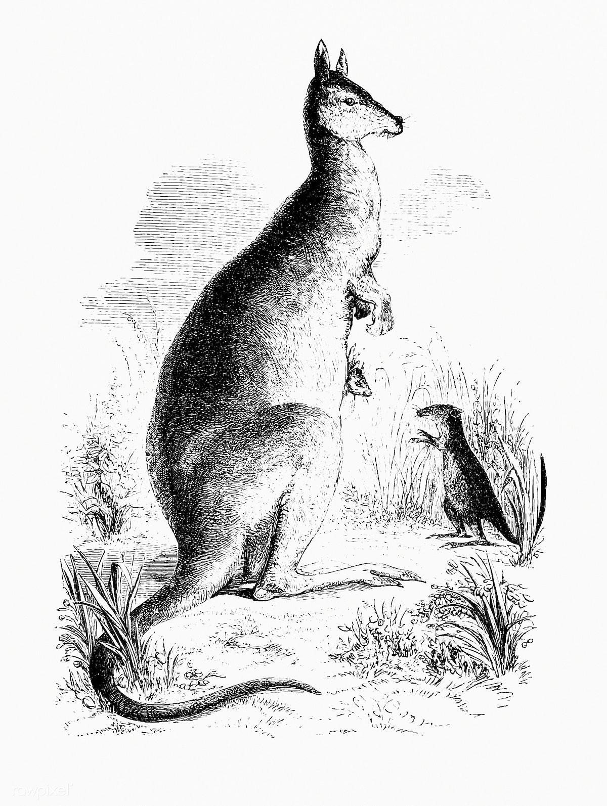 Drawing of kangaroo and kangaroo rat