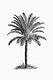 Drawing of a palm tree