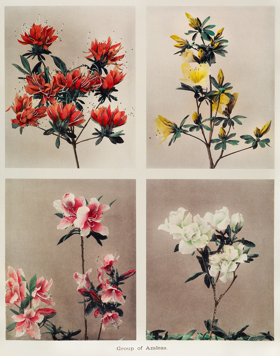 Group of Azaleas, hand–colored collotype (1896) by Kazumasa Ogawa. Original from the J. Paul Getty Museum. Digitally…