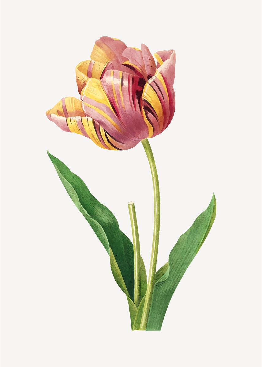 Tulip flower botanical vector, remixed from artworks by Pierre-Joseph Redouté