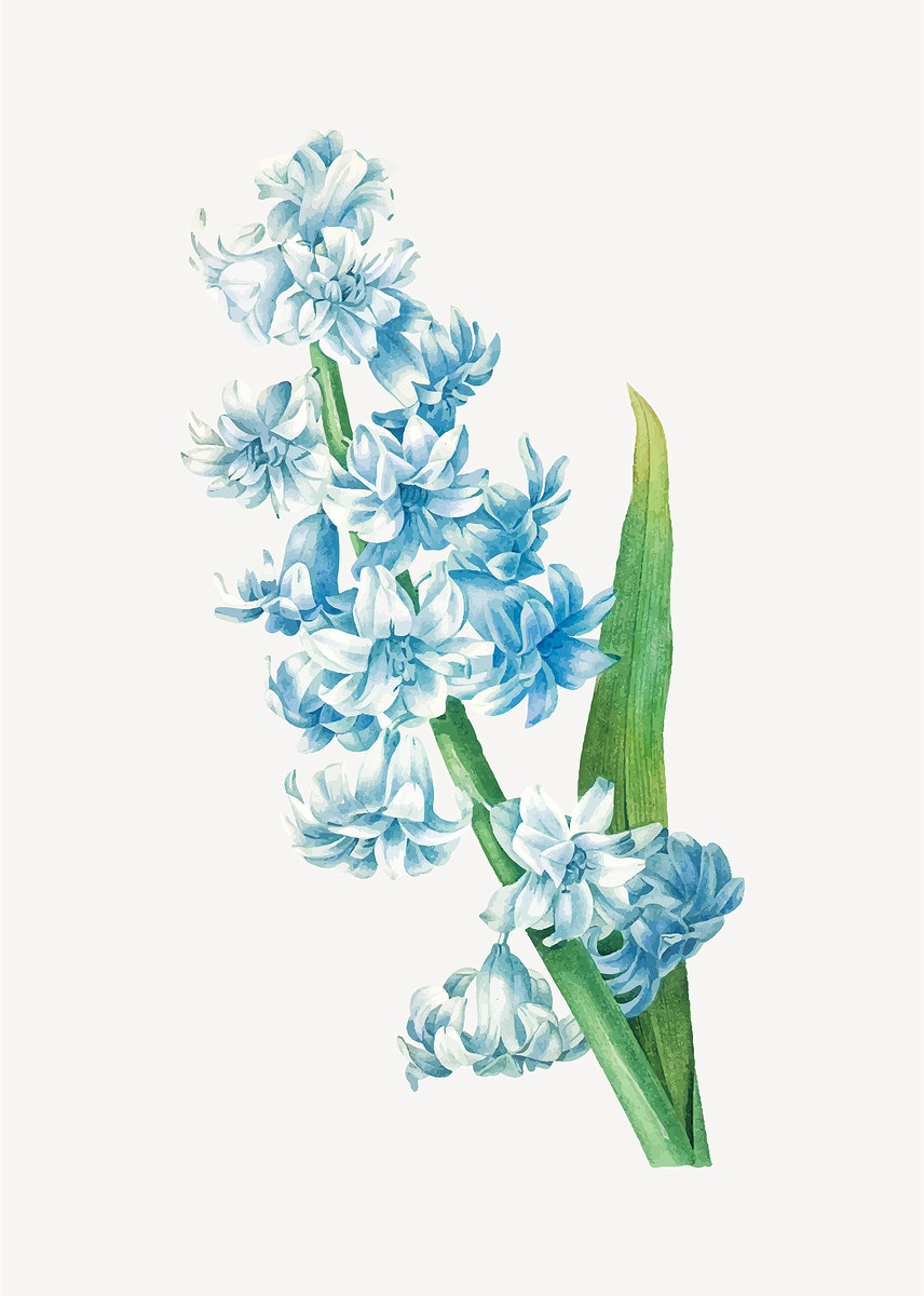 Blue hyacinth flower vector, remixed from artworks by Pierre-Joseph Redouté
