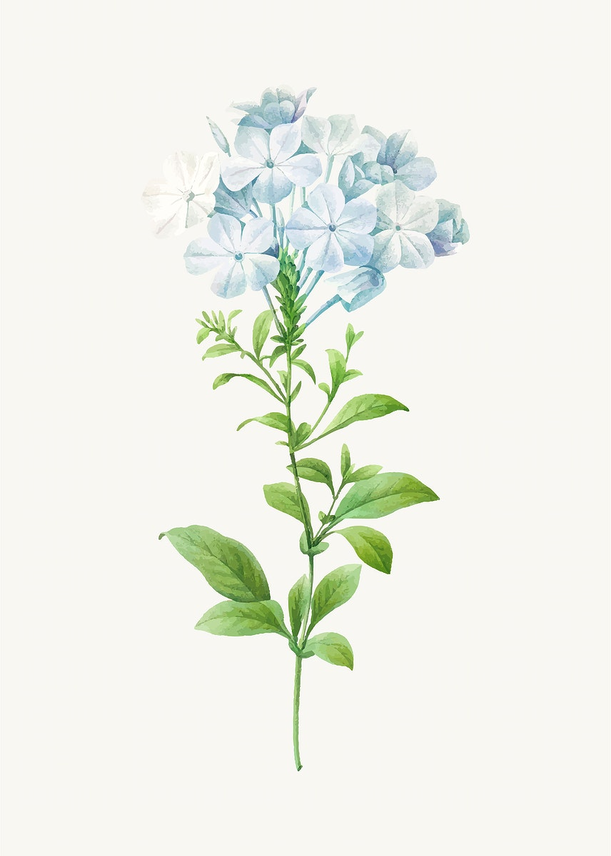 Plumbago botanical vector, remixed from artworks by Pierre-Joseph Redouté