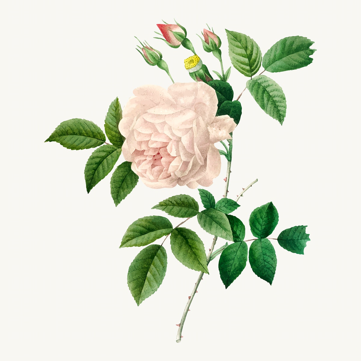 White rose botanical  vector, remixed from artworks by Pierre-Joseph Redouté
