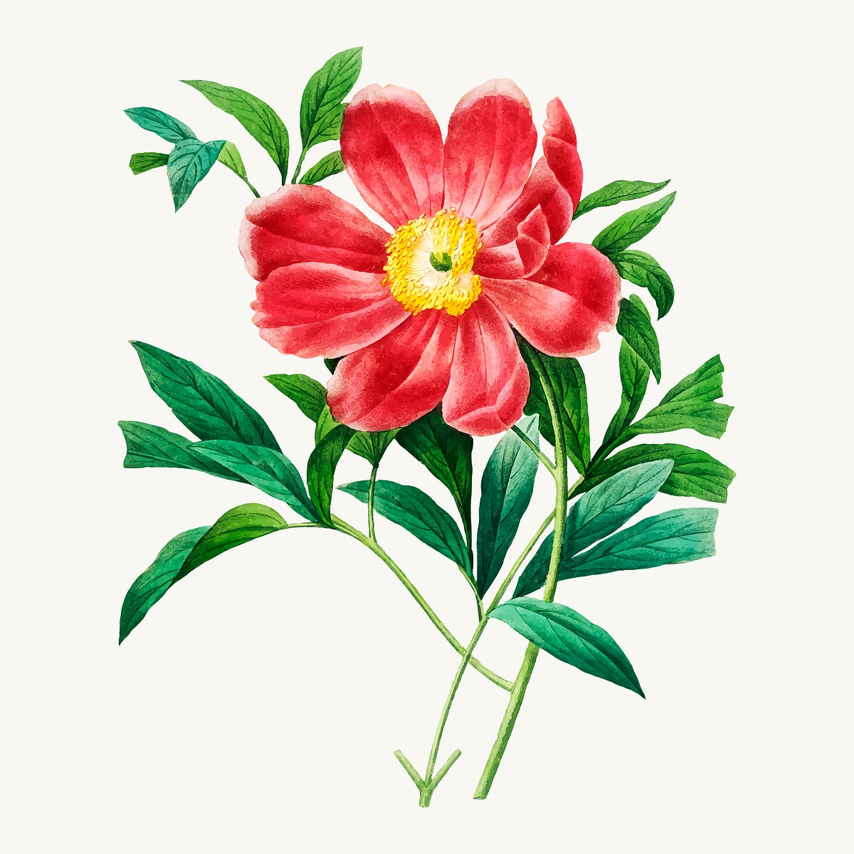 Red peony botanical vector, remixed from artworks by Pierre-Joseph Redouté