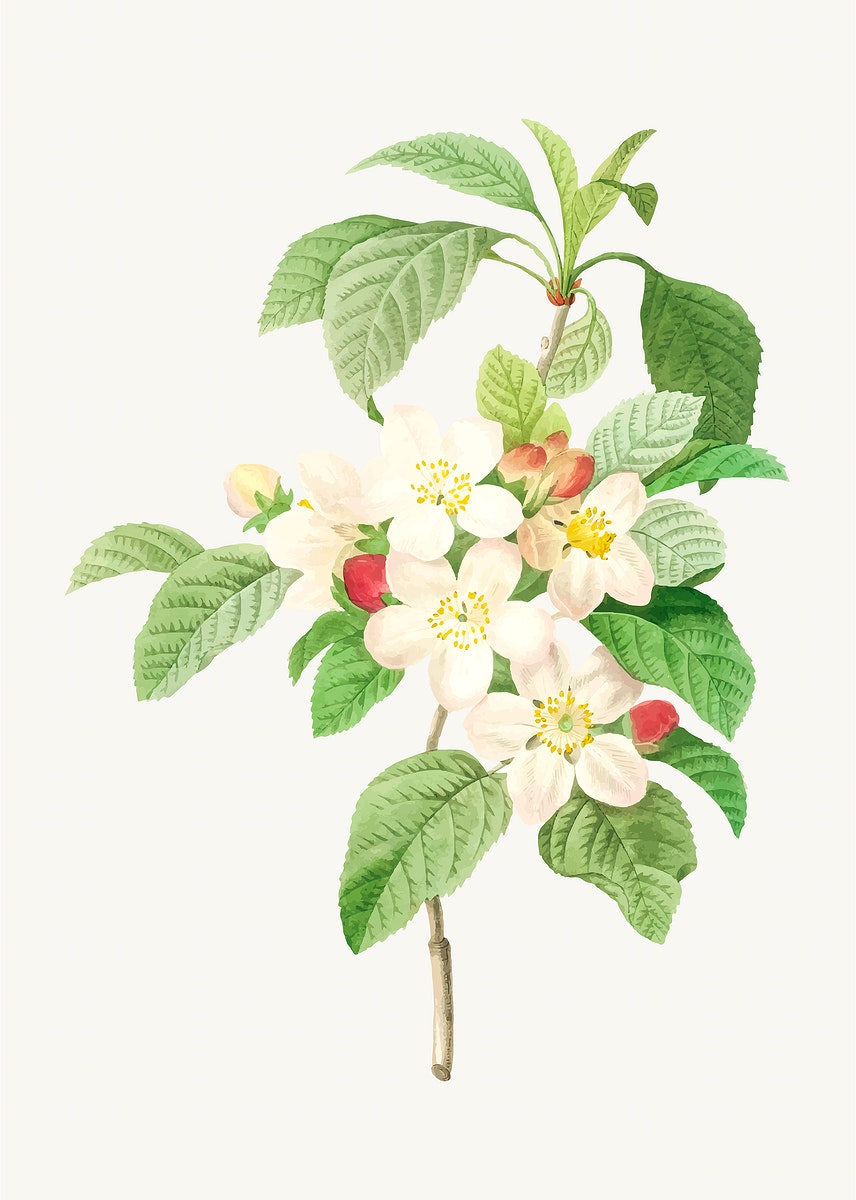 Crab apple flower vector, remixed from artworks by Pierre-Joseph Redouté