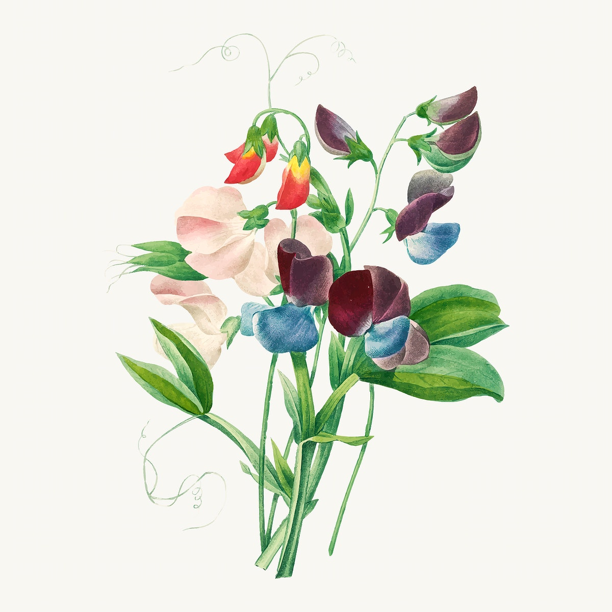 Sweet pea flower vector, remixed from artworks by Pierre-Joseph Redouté