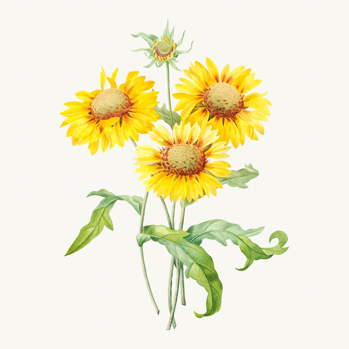 Blanket flower botanical vector, remixed from artworks by Pierre-Joseph Redouté