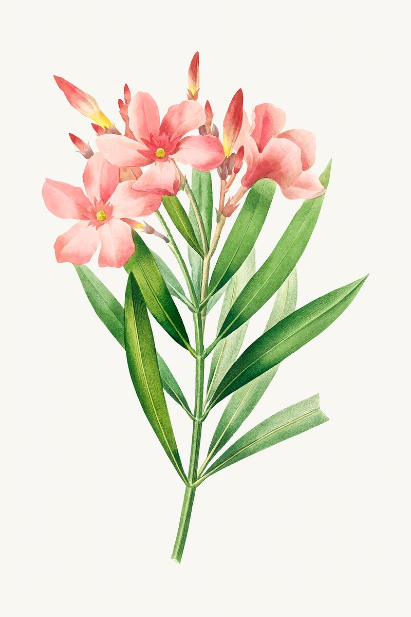 Oleander flower botanical vector, remixed from artworks by Pierre-Joseph Redouté