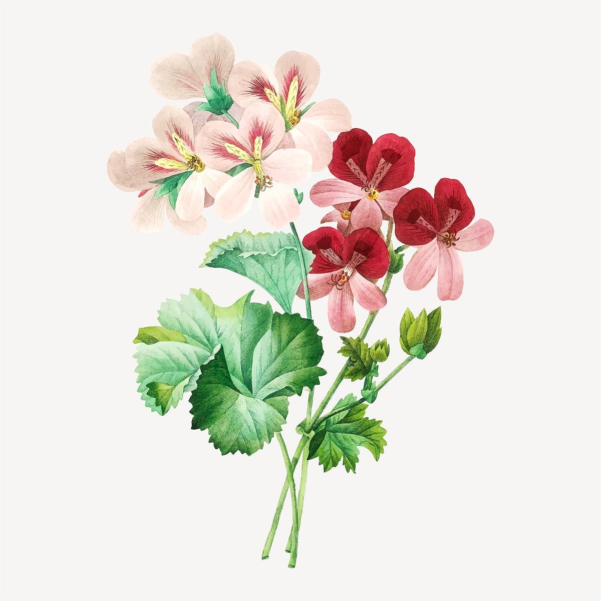 Cranesbill flower vector, remixed from artworks by Pierre-Joseph Redouté