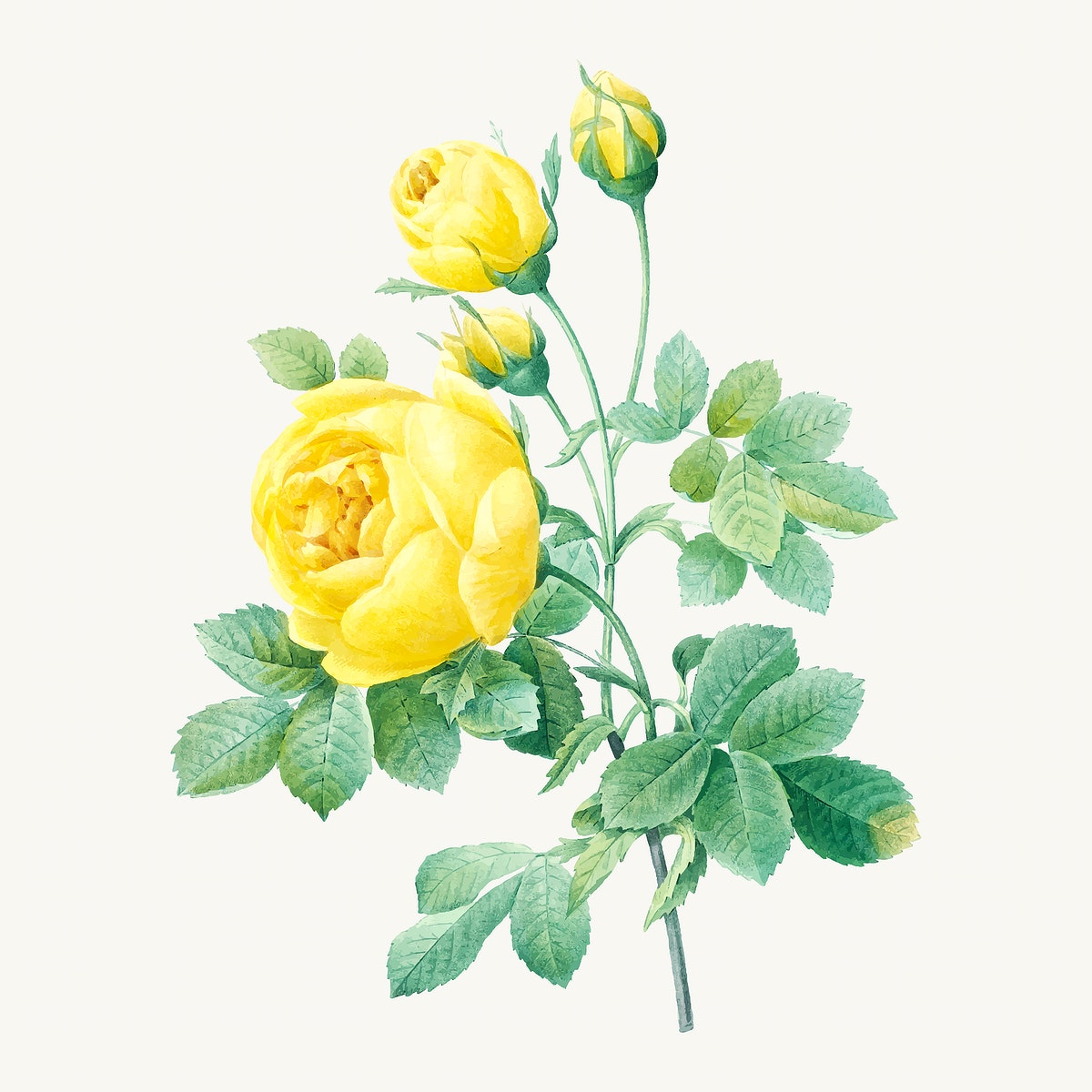 Yellow rose flower illustration vector, remixed from artworks by Pierre-Joseph Redouté