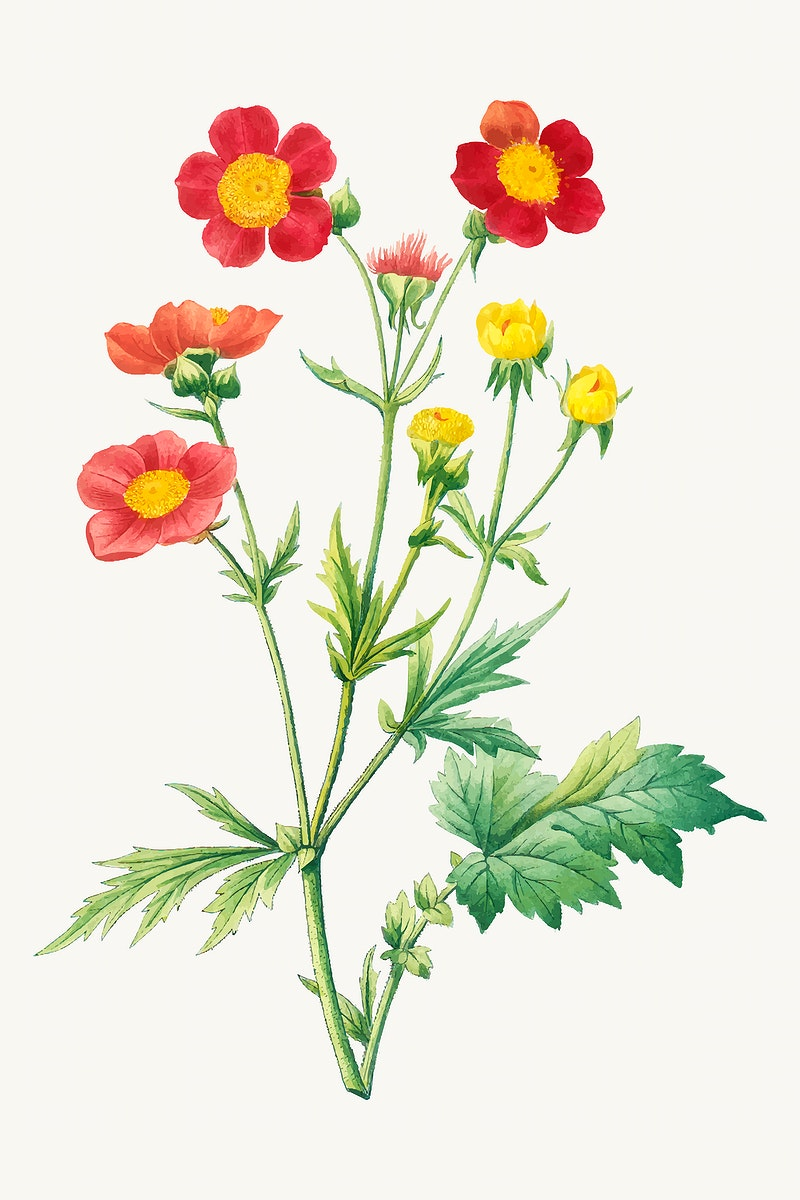 Red avens flower illustration vector, remixed from artworks by Pierre-Joseph Redouté