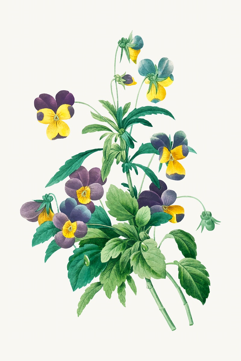 Wild pansy botanical vector, remixed from artworks by Pierre-Joseph Redouté