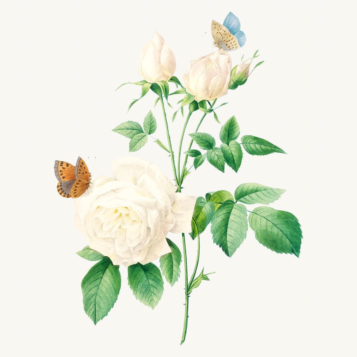 White rose flower botanical vector, remixed from artworks by Pierre-Joseph Redouté