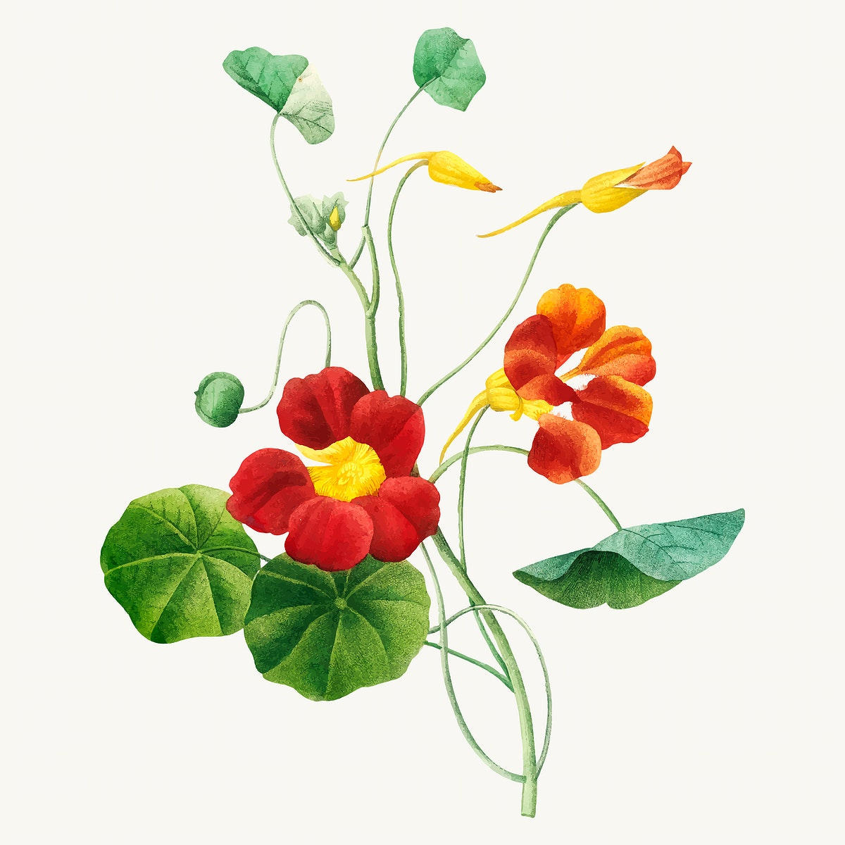 Monk's cress flower botanical vector, remixed from artworks by Pierre-Joseph Redouté