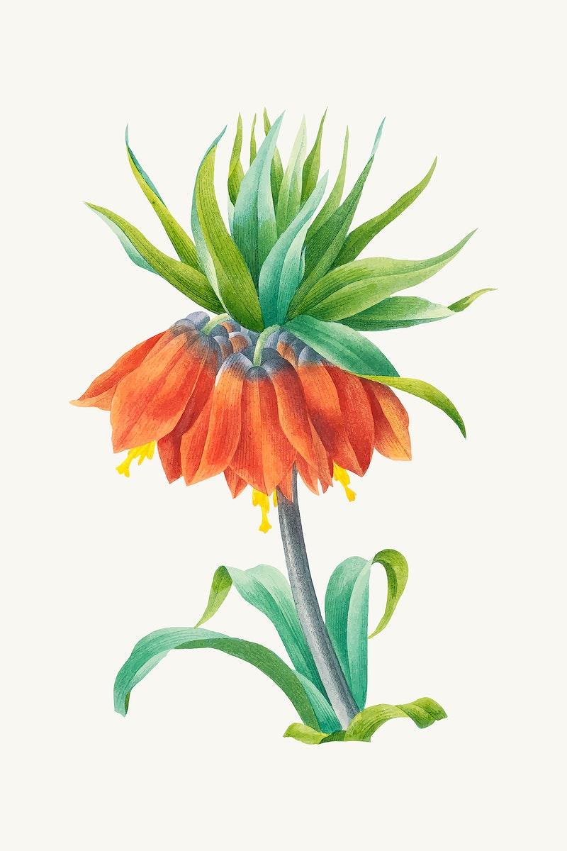 Kaiser's crown flower botanical vector, remixed from artworks by Pierre-Joseph Redouté
