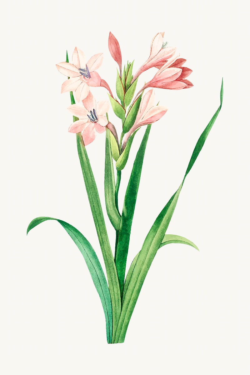 Sword lily flower botanical vector, remixed from artworks by Pierre-Joseph Redouté