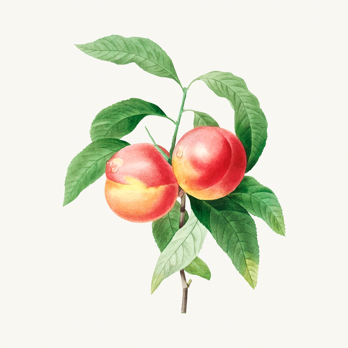 Peaches botanical illustration vector, remixed from artworks by Pierre-Joseph Redouté