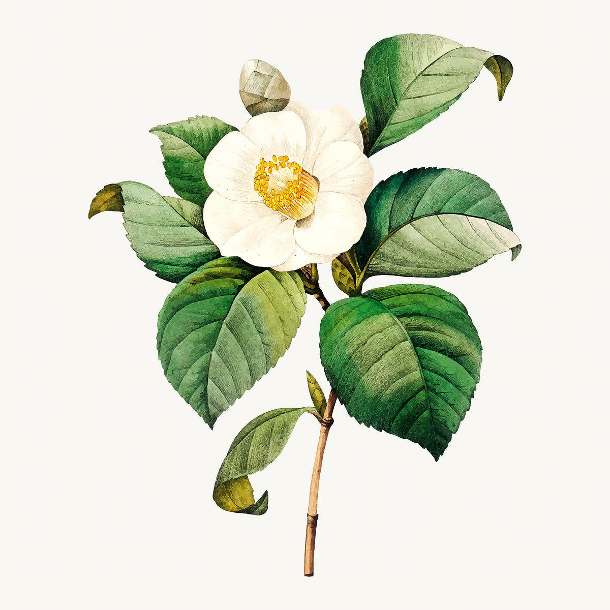 White Japanese camellia flower vector, remixed from artworks by Pierre-Joseph Redouté