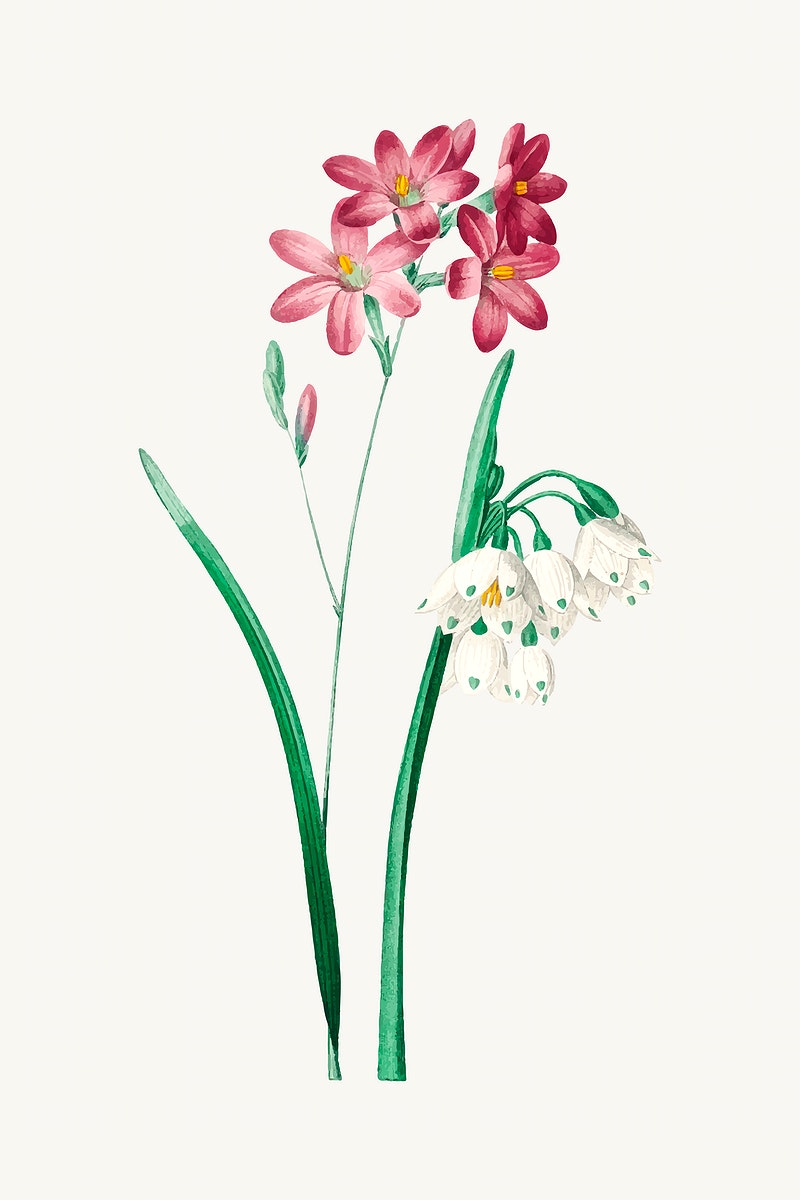 Pink ixia flower vector, remixed from artworks by Pierre-Joseph Redouté