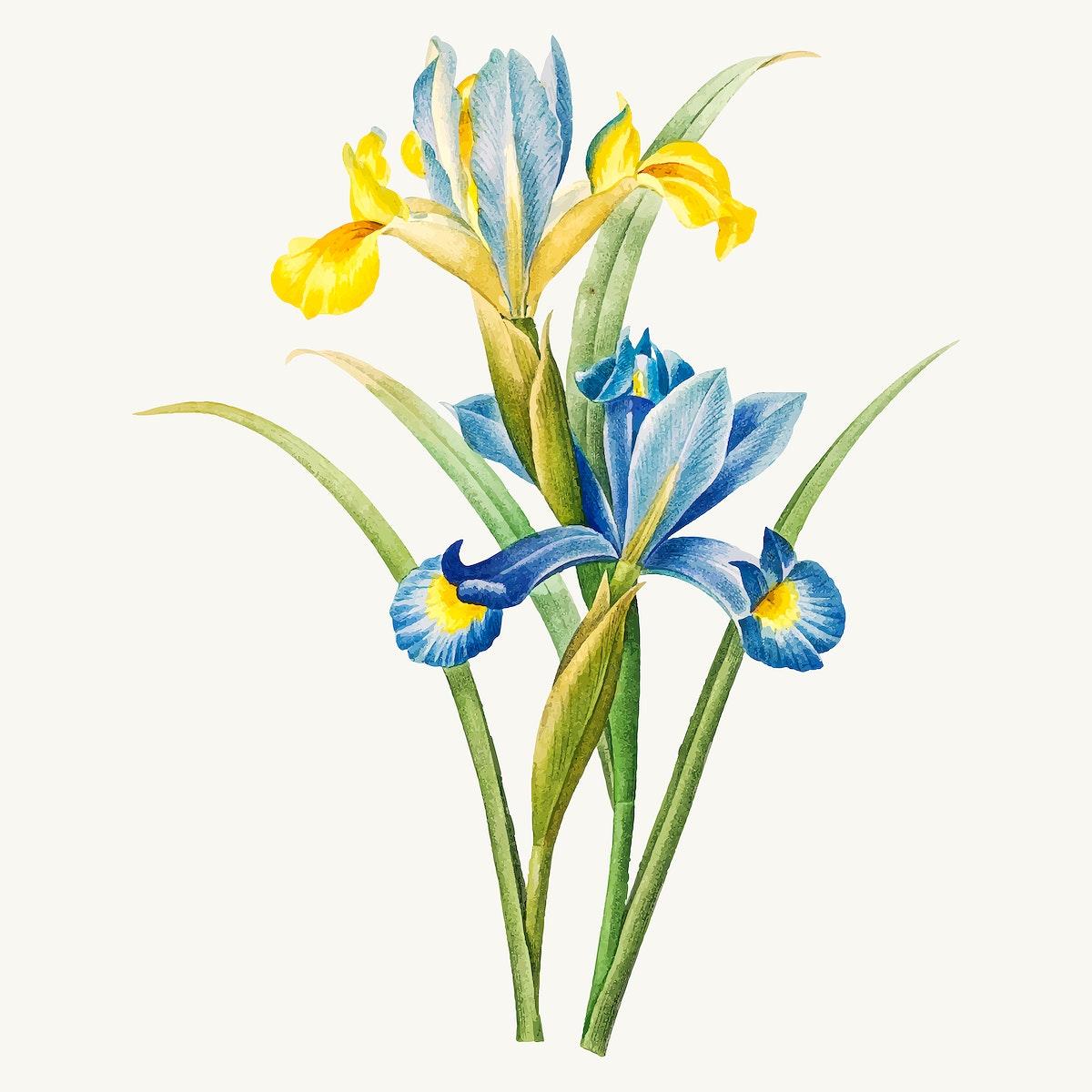 Spanish iris flower b vector, remixed from artworks by Pierre-Joseph Redouté