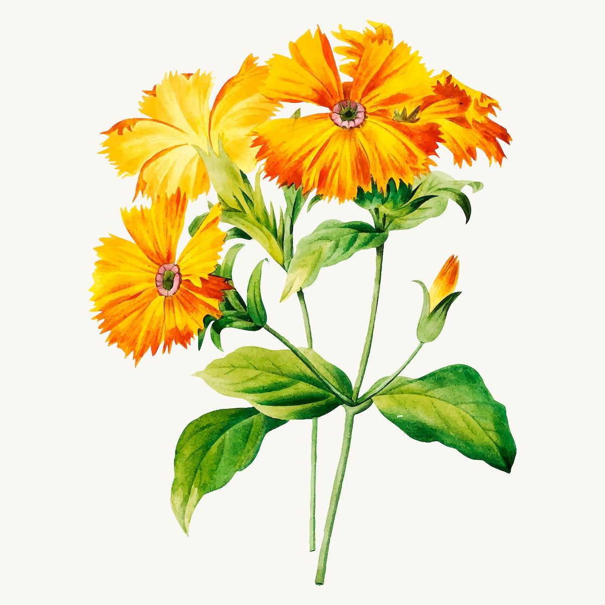 Lychnis grandiflora flower vector, remixed from artworks by Pierre-Joseph Redouté