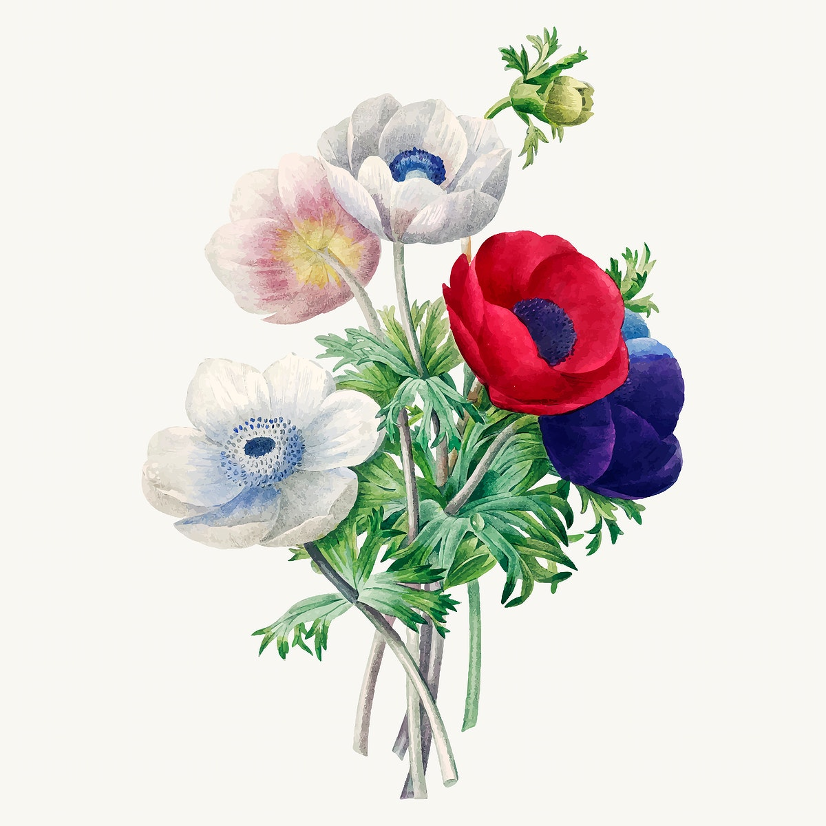 Anemone flower botanical vector, remixed from artworks by Pierre-Joseph Redouté