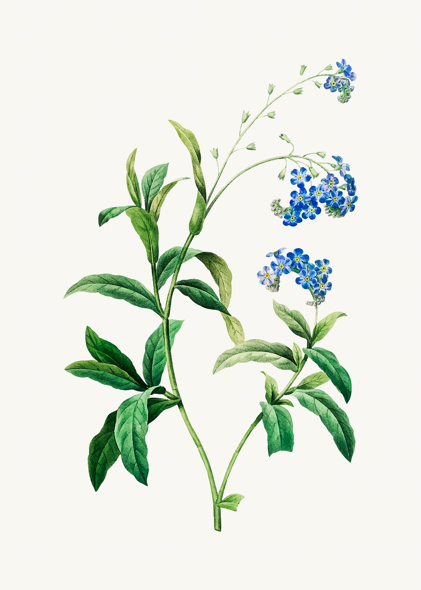 Forget me not flower vector, remixed from artworks by Pierre-Joseph Redouté