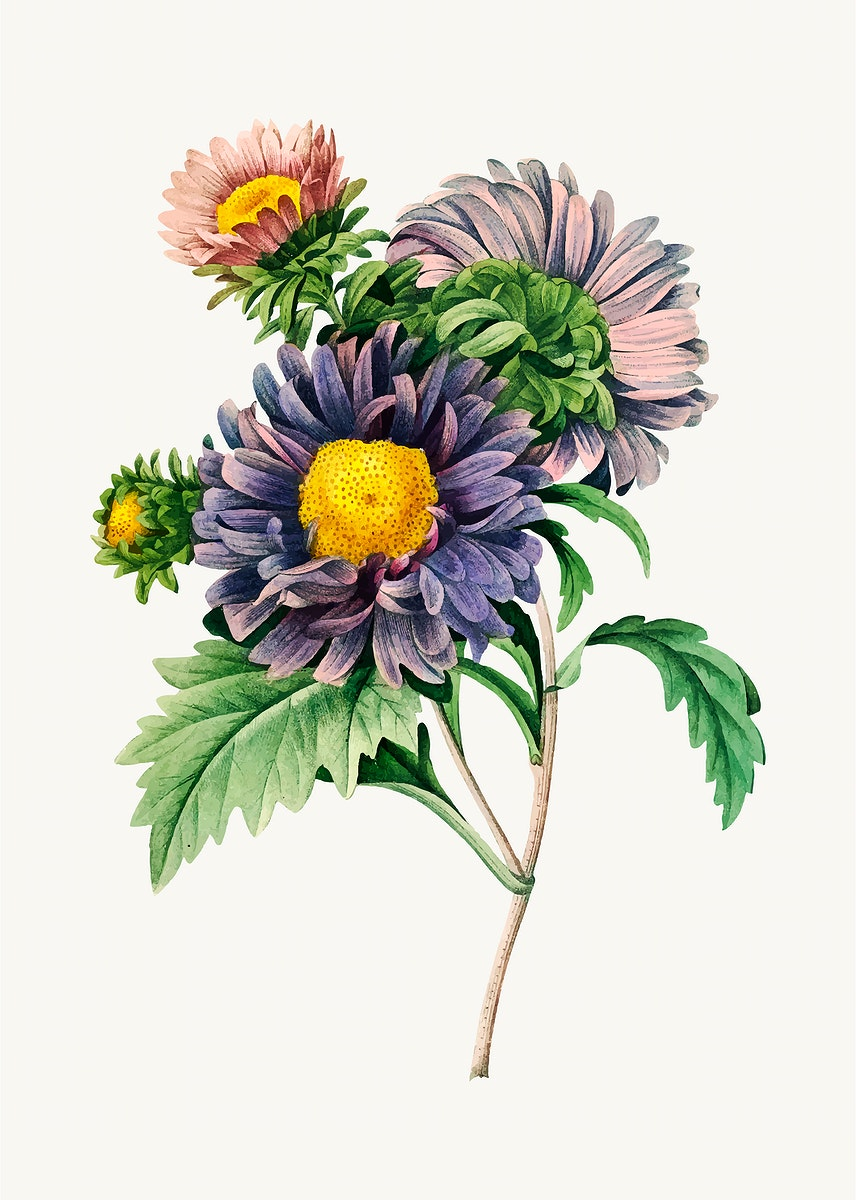 China aster flower vector, remixed from artworks by Pierre-Joseph Redouté