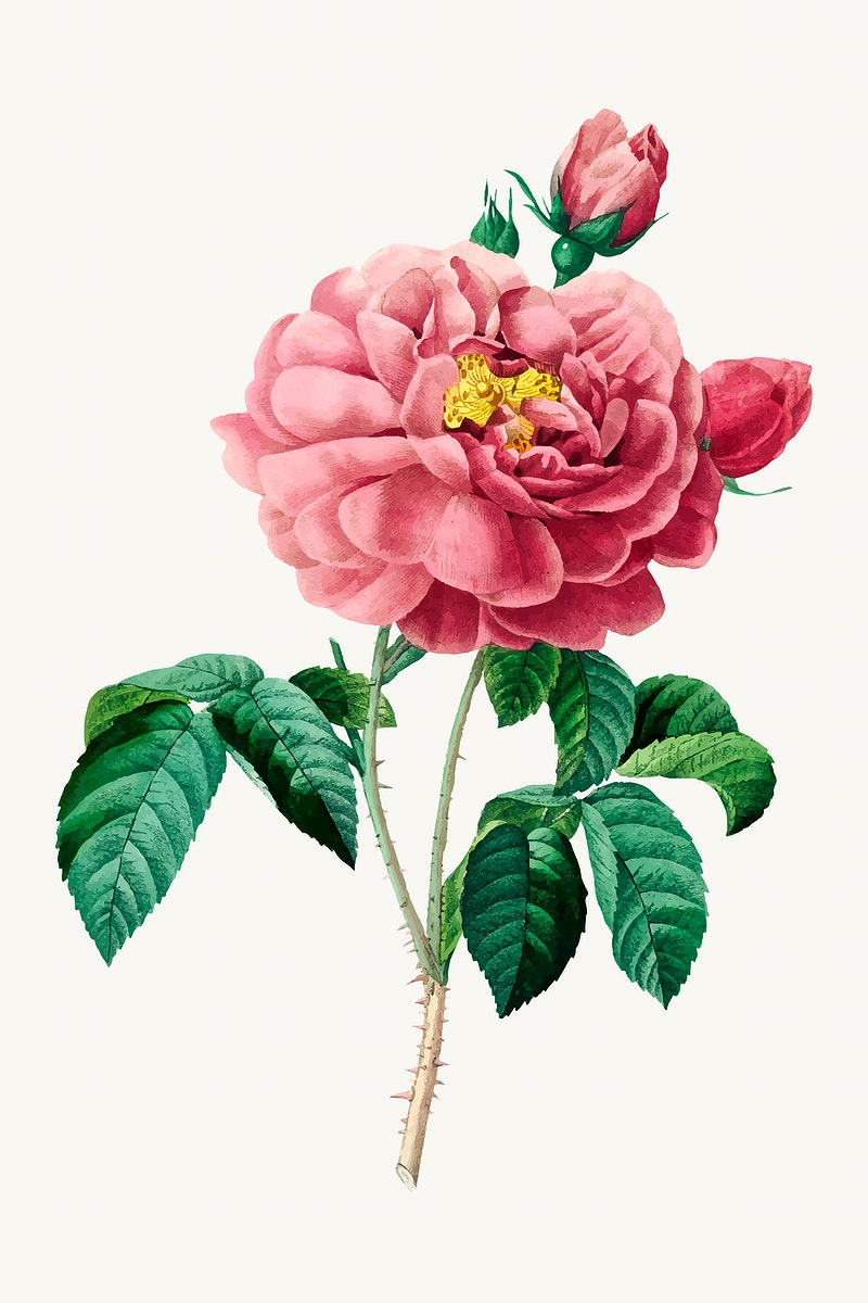 Pink rose flower botanical vector, remixed from artworks by Pierre-Joseph Redouté