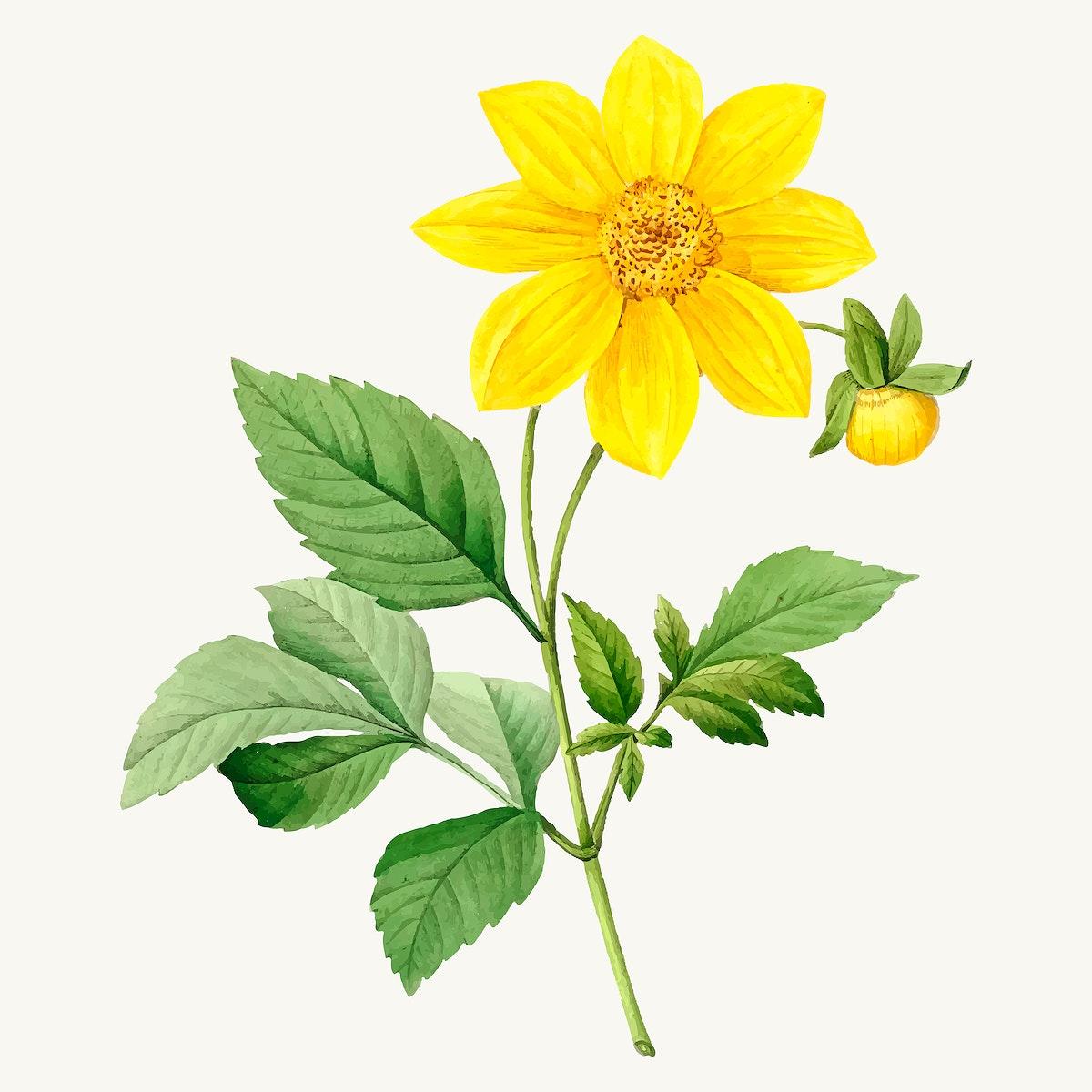 Dahlia flower botanical illustration vector, remixed from artworks by Pierre-Joseph Redouté