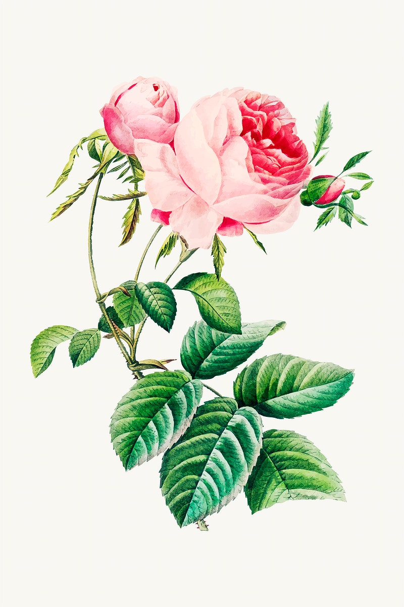 Cabbage rose flower botanical illustration vector, remixed from artworks by Pierre-Joseph Redouté