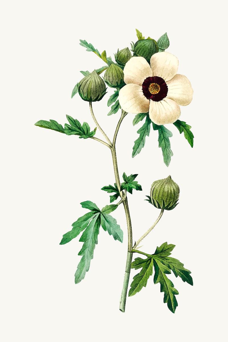 Venice mallow flower vector, remixed from artworks by Pierre-Joseph Redouté