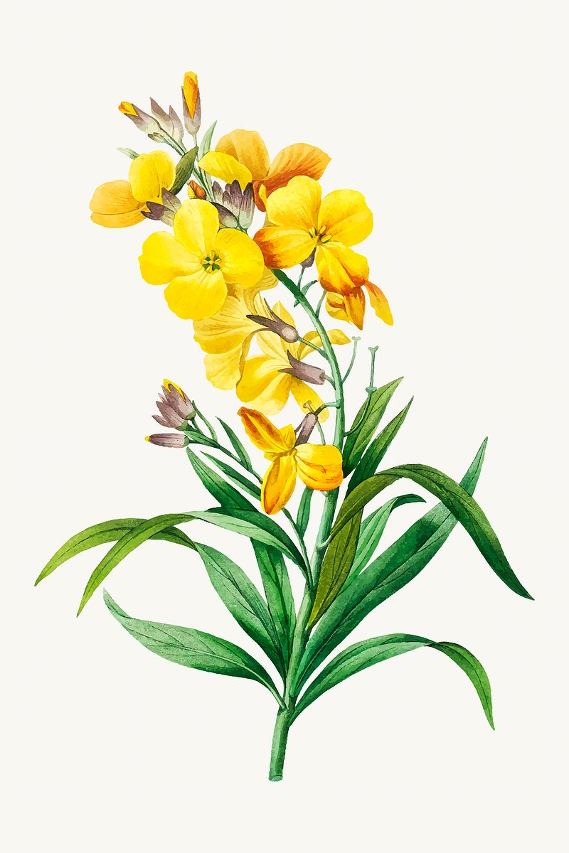Wallflower botanical vector, remixed from artworks by Pierre-Joseph Redouté