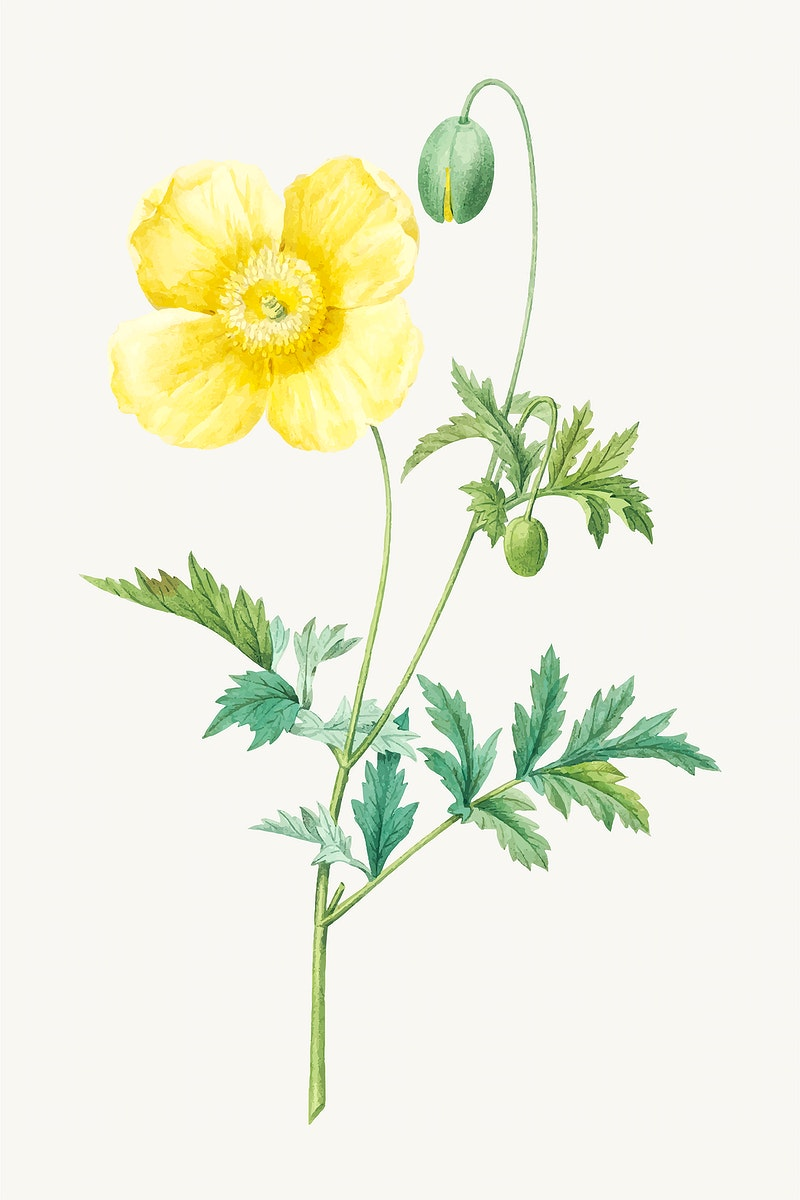 Welsh poppy flower botanical vector, remixed from artworks by Pierre-Joseph Redouté