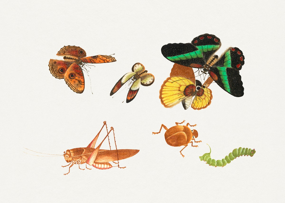 Chinese insect drawing of four butterflies, a beetle, caterpillar and a grasshopper from the 18th century. Original from The…