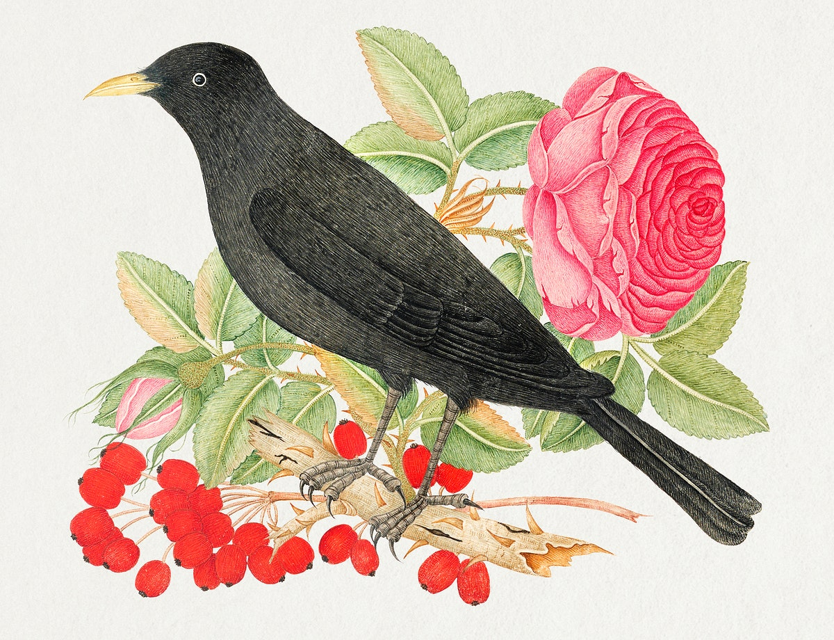 The 18th century illustration of a black bird with roses. Original from The Smithsonian. Digitally enhanced by rawpixel.