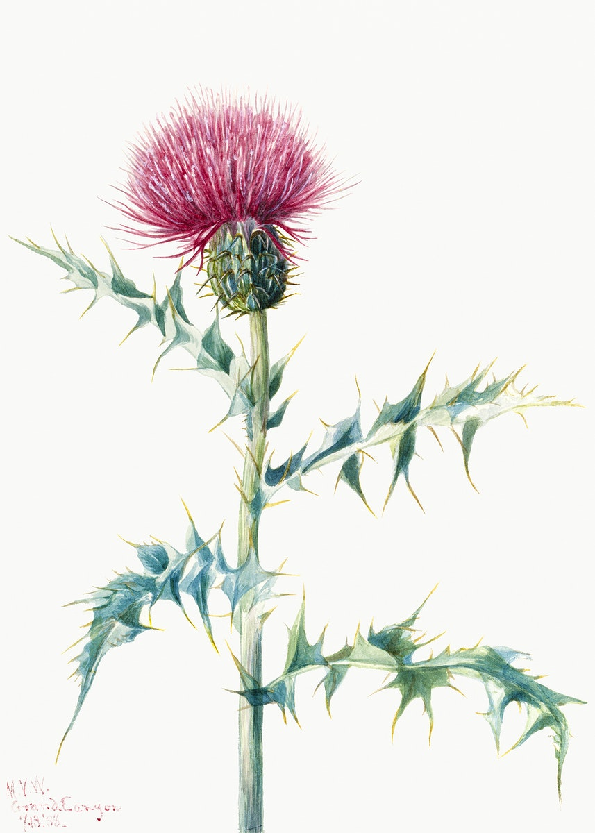 Thistle (Cirsium arizonica) (1938) by Mary Vaux Walcott. Original from The Smithsonian. Digitally enhanced by rawpixel.