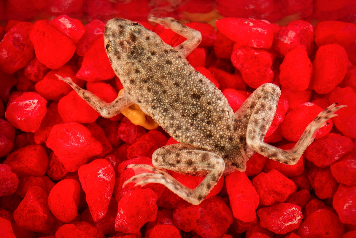 African dwarf frog, Hymenochirus boettgeri. Original image sourced from US Government department: Public Health Image Library, Centers for Disease Control and Prevention. Under US law this image is copyright free, please credit