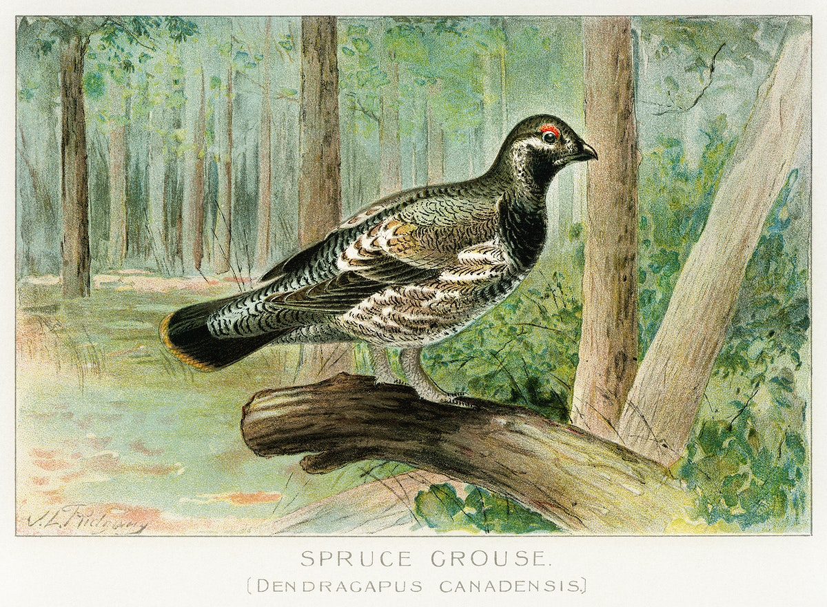 Spruce Grouse (Dendracapus Canadensis) illustrated by J.L. Ridgway (1859–1947) and W.B. Gillette (1864–1937) from…