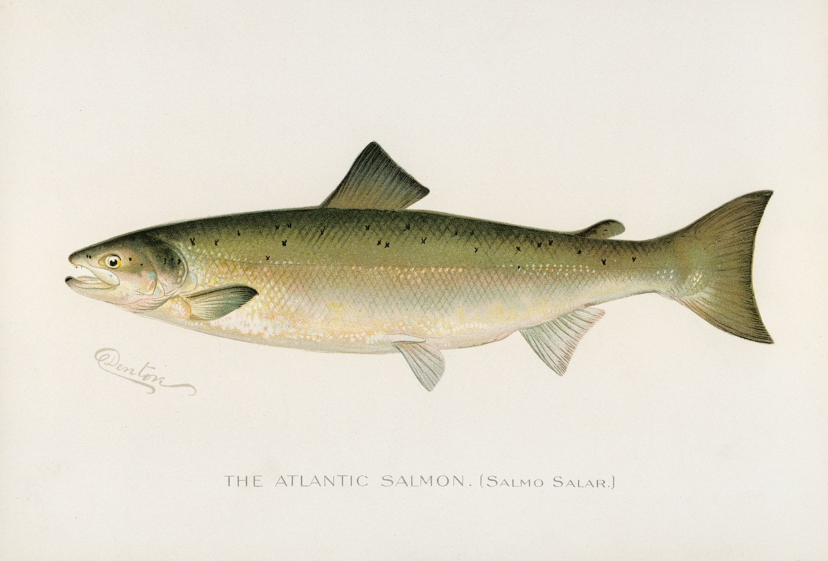 Atlantic Salmon ( Salmo Salar); Fishes of North America illustrated by Sherman F. Denton (1856-1937) from Game Birds and…