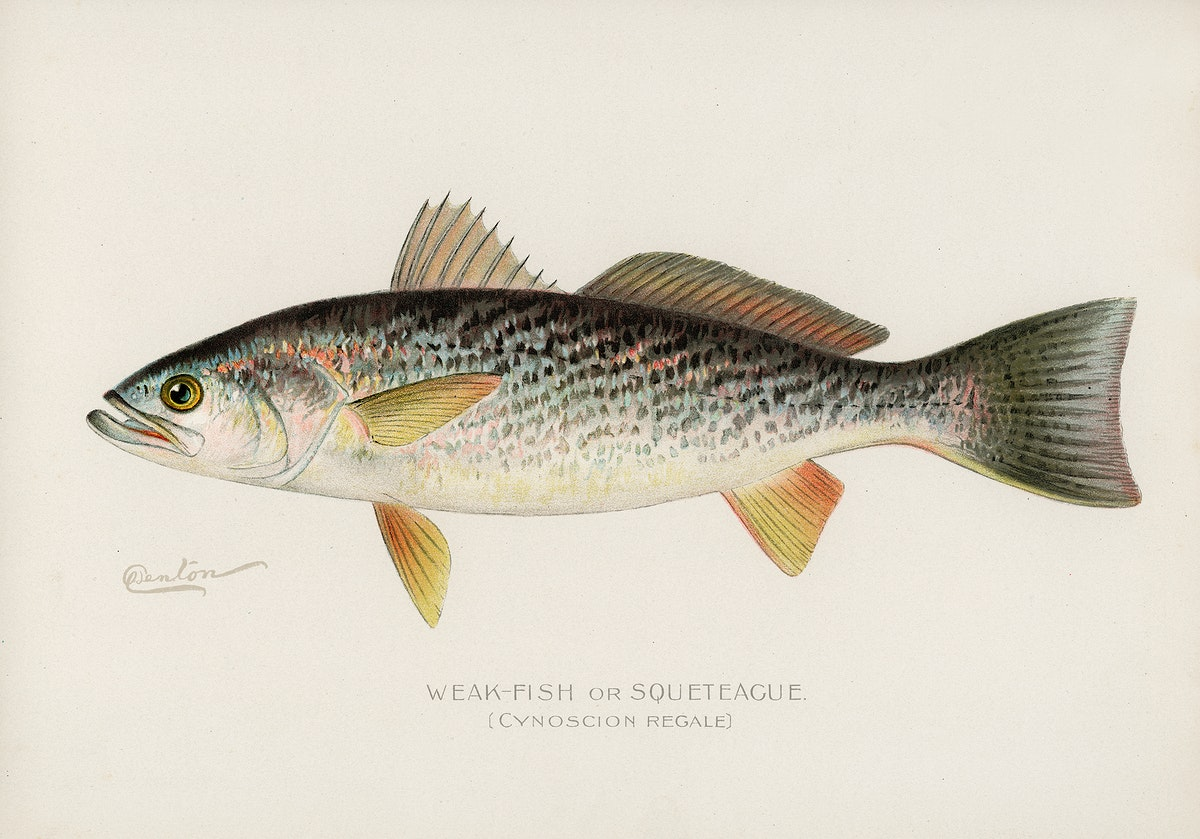 Weak-Fish or Squeteacue (Cynoscion Regale) illustrated by Sherman F. Denton (1856-1937) from Game Birds and Fishes of North…
