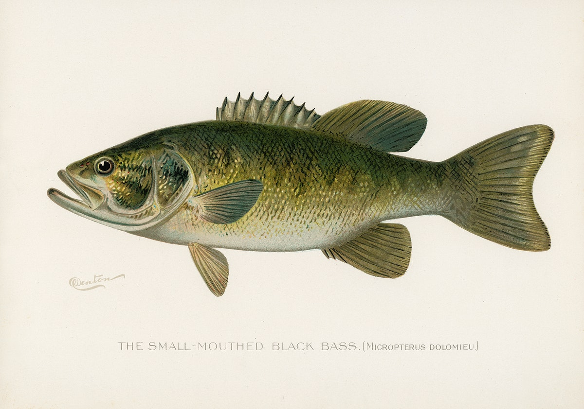 Small-Mouthed Black Bass( Micropterus Dolomieu) illustrated by Sherman F. Denton (1856-1937) from Game Birds and Fishes of…