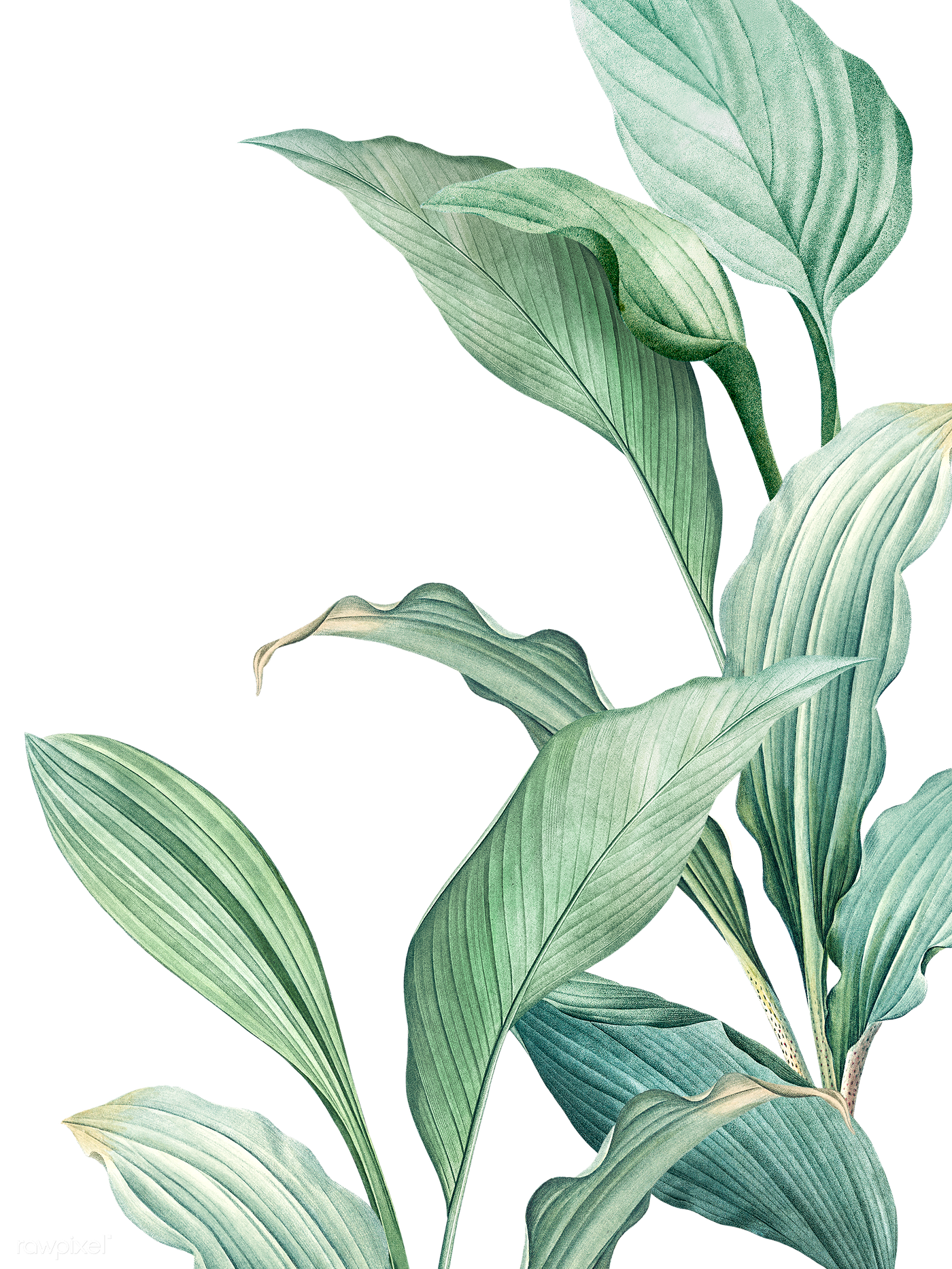 Green tropical leaves | Free transparent png - 594525