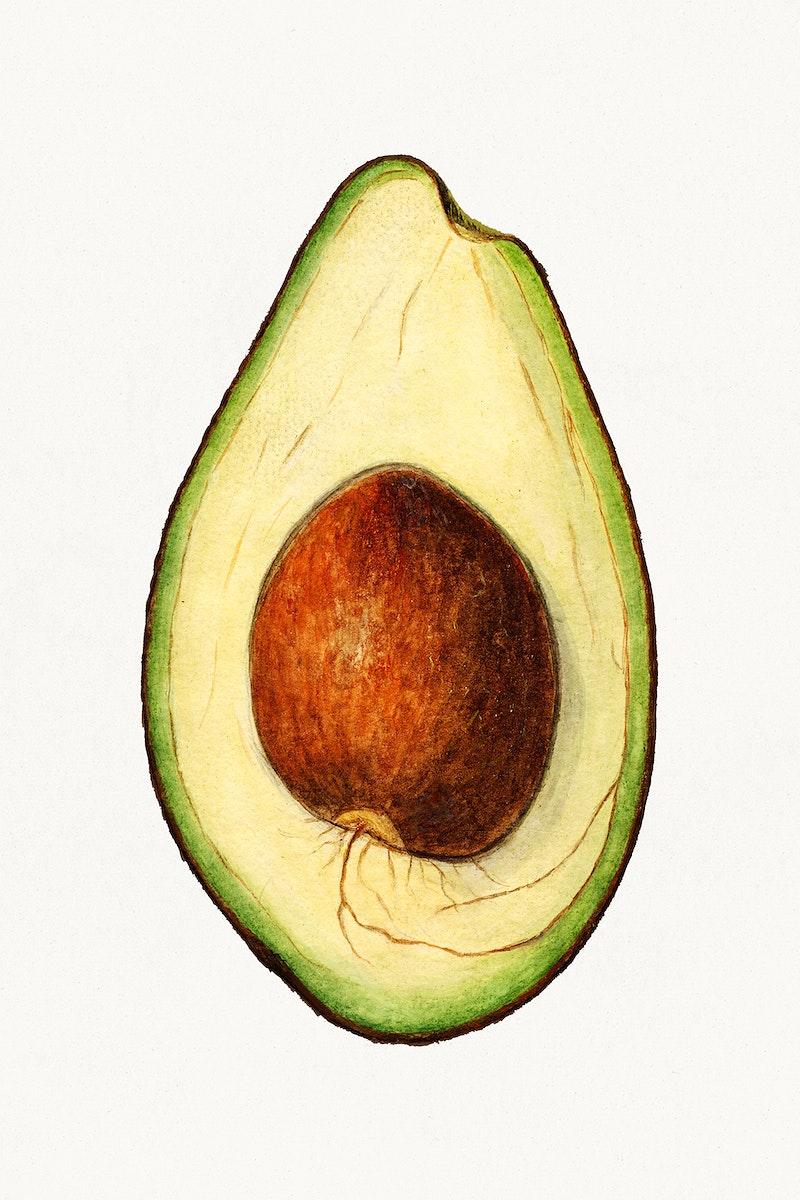 Vintage avocado illustration. Digitally enhanced illustration from U.S. Department of Agriculture Pomological Watercolor…