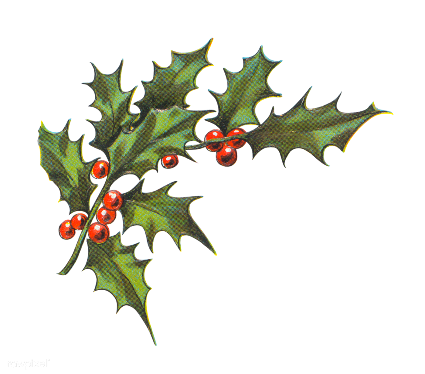 Holly leaves with berries | Royalty free transparent png ...