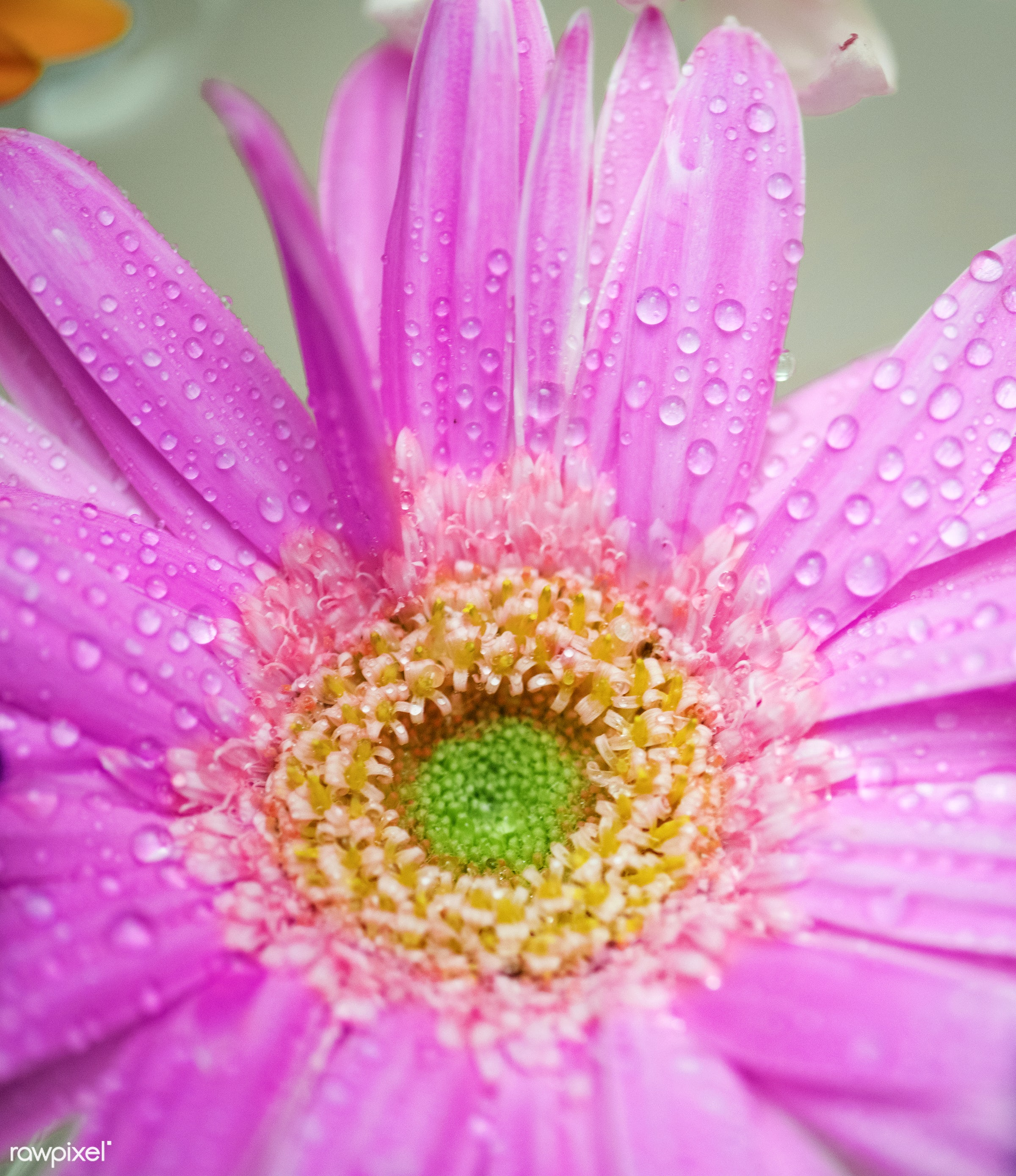 Closeup of colorful gerbera background - african daisy, attractive, background, beautiful, beauty, bloom, blossom, botanical...