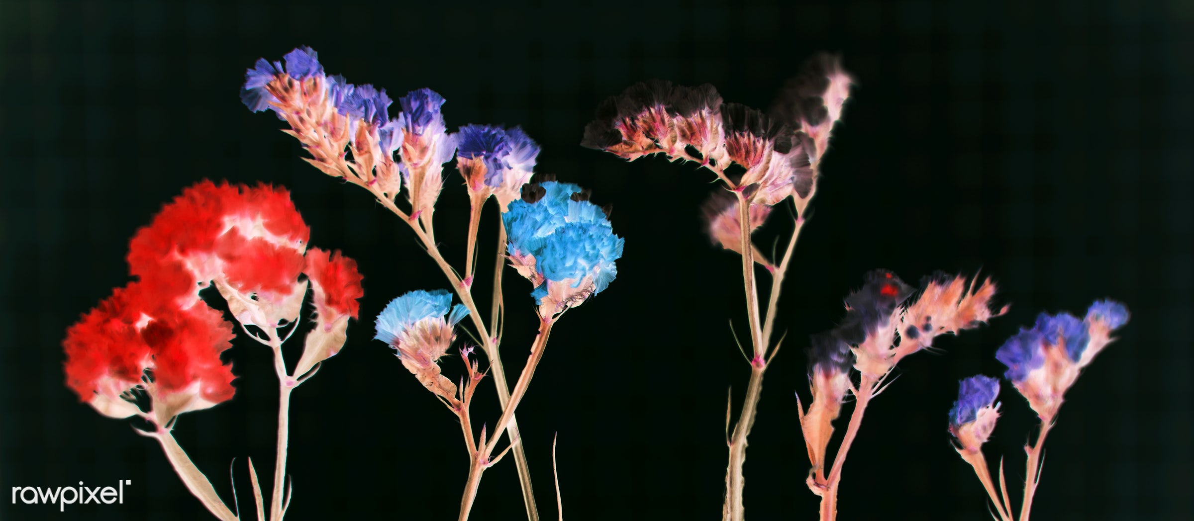 Closeup shot of fresh colorful statice in negative effect - background, beautiful, beauty, black background, bloom, blooming...