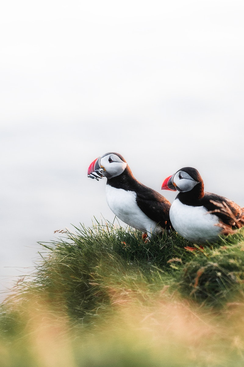 Closeup of puffins with fish in their beaks