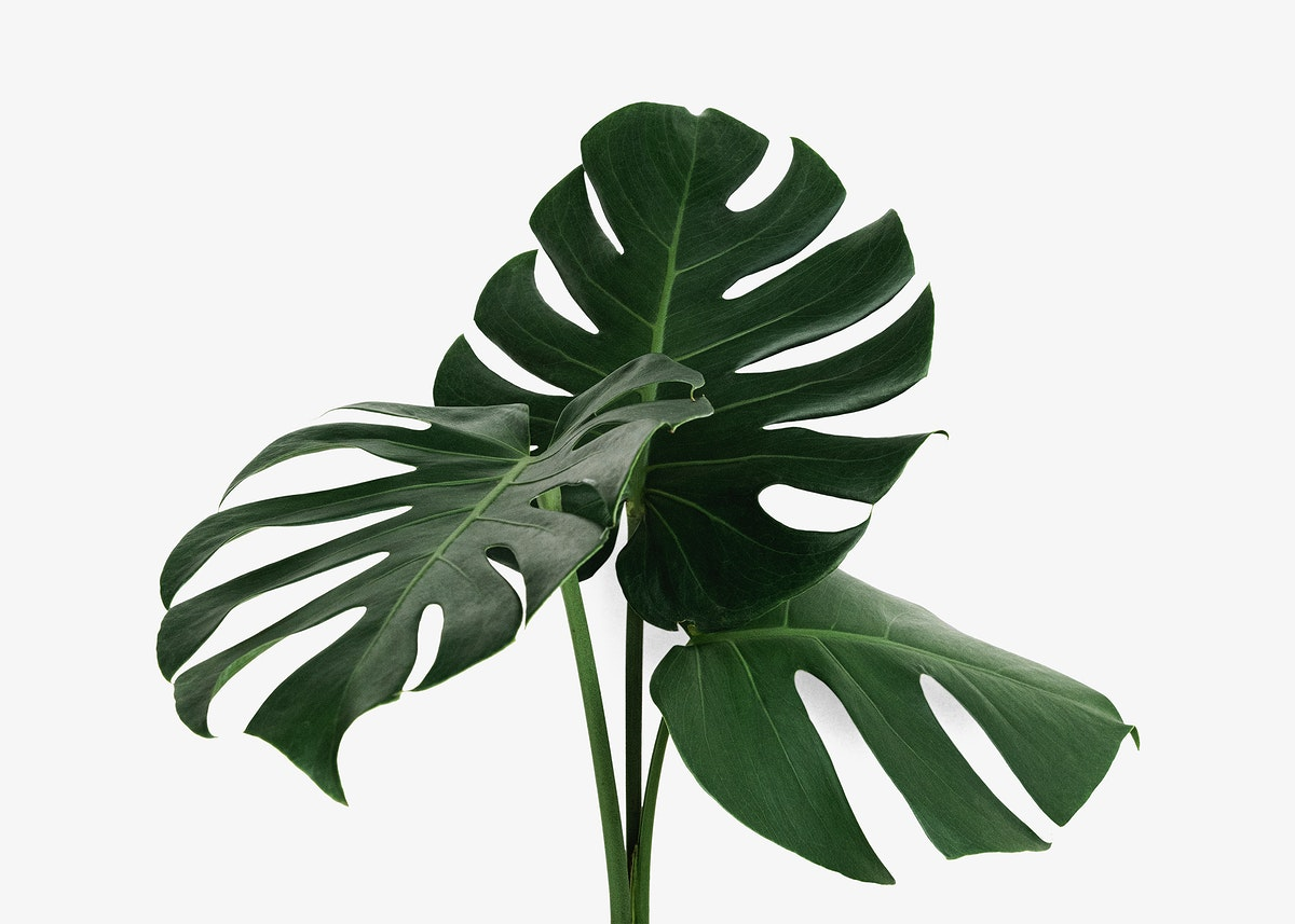 Monstera delicosa plant leaf on an off white background mockup